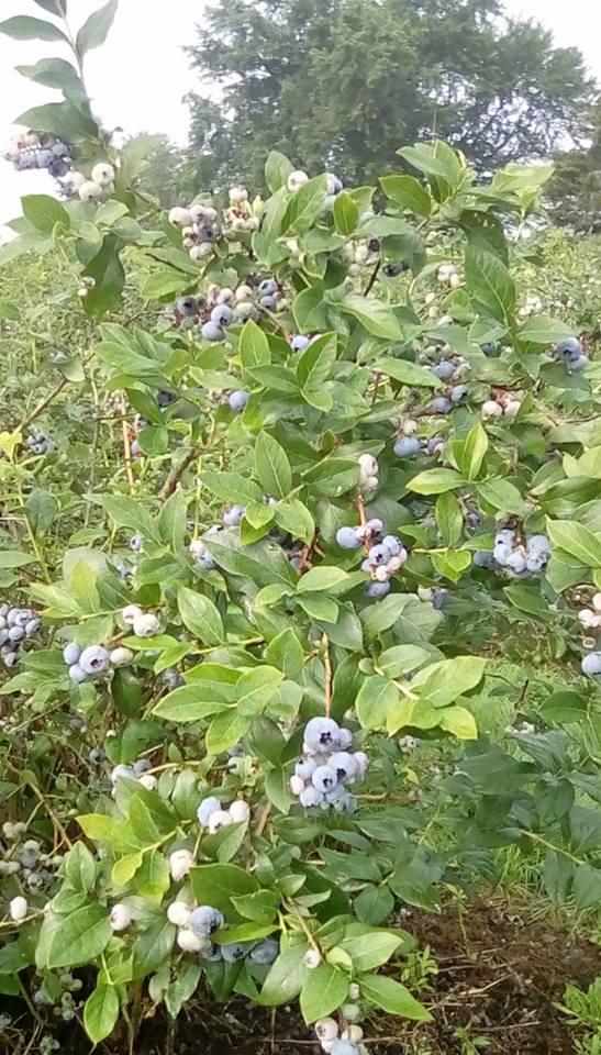 castleberries2